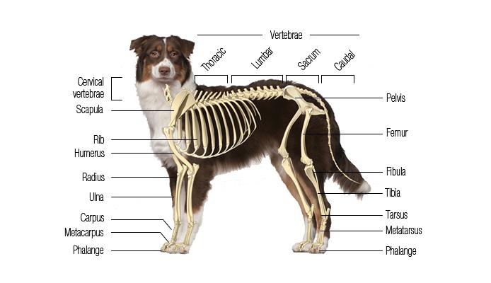 canine skeletal system | boneo canine®, Skeleton