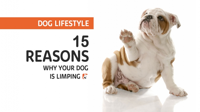 15 Reasons Why Your Dog is Limping | Lameness in Dogs